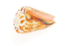 Seashell close up isolated on white Stock Photo