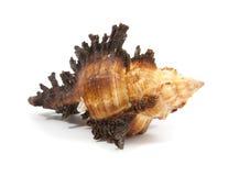 Seashell Stock Image