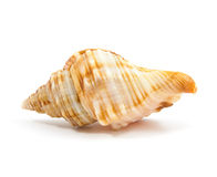 Seashell. In close-up isolated on a white background Royalty Free Stock Image