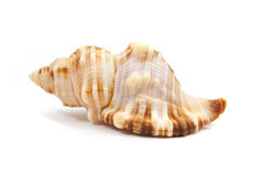 Seashell. In close-up isolated on a white background Royalty Free Stock Photos