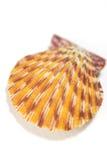Seashell close up - scallop shell Stock Photo
