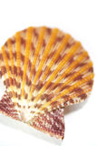 Seashell close up - scallop shell Stock Image