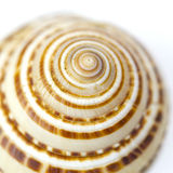 Seashell close up - sundial shell Stock Image