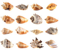 Seashell collection  on white background. Royalty Free Stock Photography