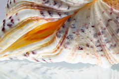 Seashell colors and texture Royalty Free Stock Images