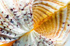 Seashell colors and texture Royalty Free Stock Photos