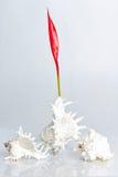 Seashell con la flor roja en el fondo blanco Fotos de archivo libres de regalías