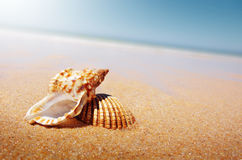 Seashell and Conch Stock Photos
