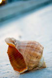 Seashell on concrete Stock Images