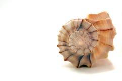 Seashell contra blanco Imágenes de archivo libres de regalías