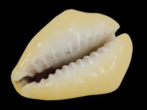 Seashell cowrie, cyprea, toothed side  Stock Photos