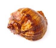 Seashell cravado grande no branco. Fotos de Stock Royalty Free