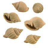 Seashell crema Fotografia Stock Libera da Diritti