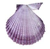 Seashell d'isolement sur le blanc photos stock