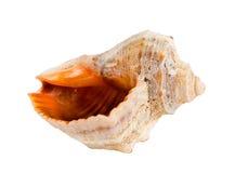 Seashell d'isolement sur le blanc photo stock