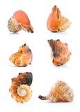 Seashell d'isolement sur le blanc photo libre de droits