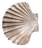 Seashell d'isolement sur le blanc photographie stock libre de droits