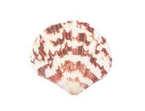 Seashell d'isolement sur le blanc photographie stock