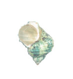 Seashell d'isolement sur le blanc images stock