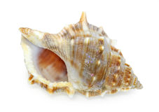Seashell d'isolement sur le fond blanc photo stock