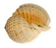 Seashell d'isolement sur le fond blanc Photographie stock