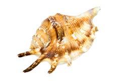 Seashell d'isolement sur un fond blanc photos stock