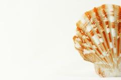 Seashell de la concha de peregrino Fotografía de archivo libre de regalías