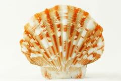 Seashell de la concha de peregrino Fotos de archivo libres de regalías