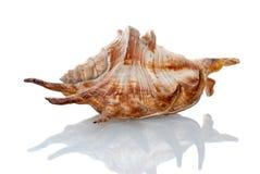 Seashell de mer photo stock