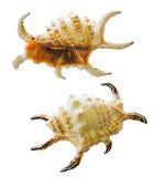 Seashell de regard sauvage. photo libre de droits