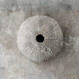Seashell del discolo Fotografie Stock Libere da Diritti