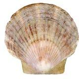 Seashell del pettine dall'oceano isolato su bianco Immagini Stock Libere da Diritti