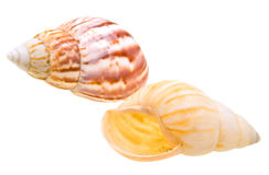 Seashell del pettine dall'oceano isolato su bianco Immagine Stock Libera da Diritti