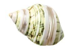 Seashell della conca fotografia stock