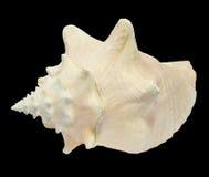 Seashell della conca sul nero 3 fotografia stock
