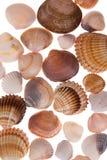 Seashell, der auf weißem Hintergrund laing ist stockfotos