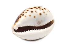 Seashell di risata Fotografia Stock Libera da Diritti