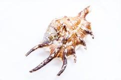 Seashell do Conch da aranha Imagem de Stock Royalty Free
