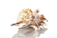 Seashell do Conch da aranha fotografia de stock