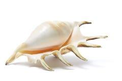 Seashell do Conch da aranha imagens de stock
