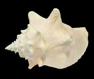 Seashell do Conch no preto 3 Foto de Stock