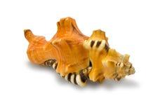 Seashell Dostrzegający Triton Obraz Royalty Free