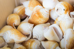 Seashell Dried Royalty Free Stock Images