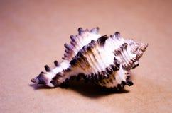 seashell seashell Ein Shell Andenkenoberteil Meeresflora und -fauna Die Einwohner des Meeres Brown und weißes Oberteil lizenzfreie stockfotos