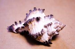 seashell seashell Ein Shell Andenkenoberteil Meeresflora und -fauna Die Einwohner des Meeres Brown und weißes Oberteil lizenzfreies stockbild