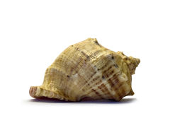 Seashell em um fundo branco Imagens de Stock