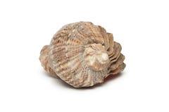 Seashell en el blanco fotografía de archivo