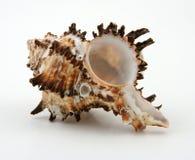 Seashell esotico fotografia stock