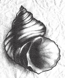 Seashell - etching. Hand drawn spiky seashell in etching style Stock Image
