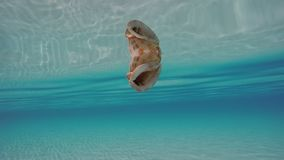 Seashell floating on the surface underwater. Camera swimming underwater around seashell floating and mirroring itself under the water surface. Sunlight stock footage